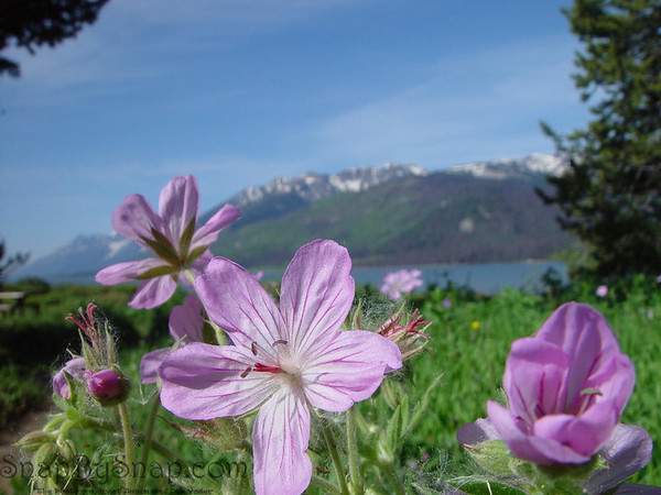 Wildflowers in Grand Teton National Park.